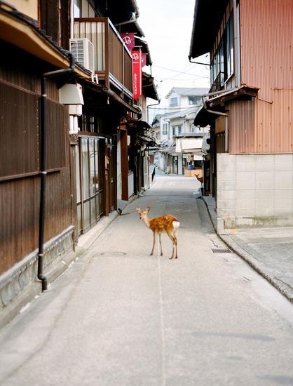 ciervo-en-miyajima